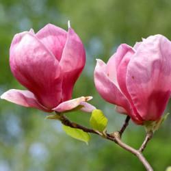 magnolia-1s