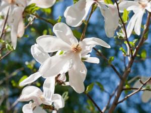 magnolia-2s